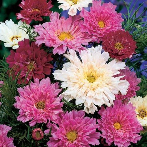 20-sementes-de-flor-cosmos-dobrada-D_NQ_NP_648540-MLB25859776624_082017-F